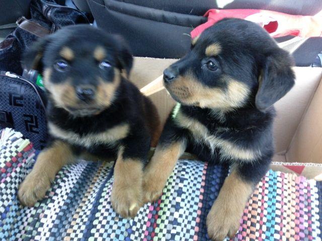 Rottweiler In Stuttgart Hunde Kaufen Verkaufen Auf Quoka De