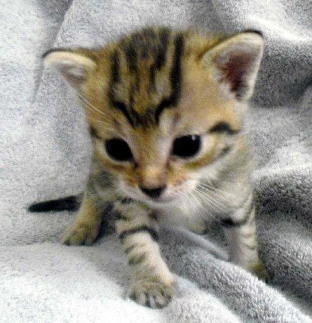 super süße katzenbabys abzugeben  tieranzeigen