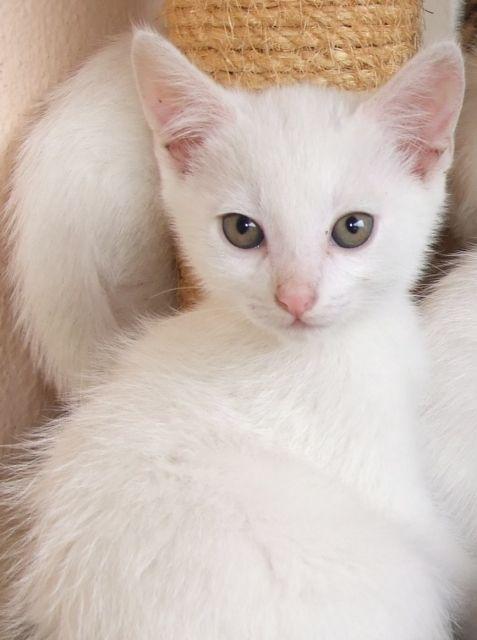 Weiße Kitten